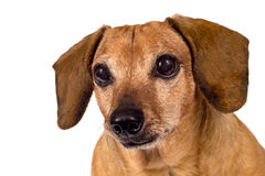 Dog Looking Forward. Dachshund puppy dog looking forward and paying close attention. Maybe hoping for a treat. Isolated on a white background Stock Photos