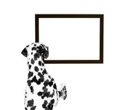 Dog looking at the frame. Isolate on white background Royalty Free Stock Photography