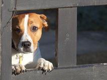 Dog looking through gate Royalty Free Stock Photos