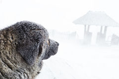 Dog looking at the gate during hard winter snow. Caucasian dog head looking at the front gate during bad wheather in winter royalty free stock photography