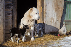 Dog looking after goat babies. Farm. Shepherd watching the chicken. Rustic image Stock Photos