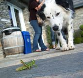 Dog looking at Grasshopper Royalty Free Stock Images