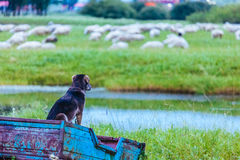 A dog looking at a grazing sheep Royalty Free Stock Images