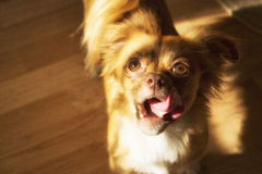 Dog looking at hand with treat Royalty Free Stock Photography