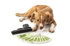 Dog looking at handgun and euro banknote Royalty Free Stock Photo