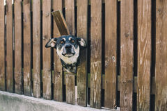 Dog looking from the hole in the fence Royalty Free Stock Image