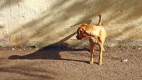 Dog looking at its shadow stock video footage