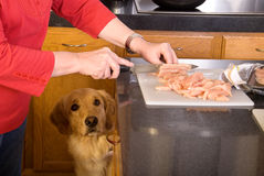Dog looking longingly at chick stock images