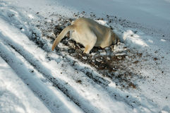Dog looking for mouse under the snow Stock Image