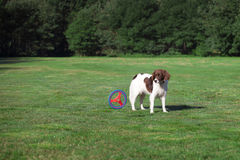 Dog looking at a moving disc in a meadow. A dog  stands in a meadow and is looking at a moving disc Royalty Free Stock Images