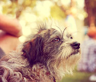 A dog looking off in the distance on a warm summer day toned with a warm vintage instagram filter Royalty Free Stock Photography