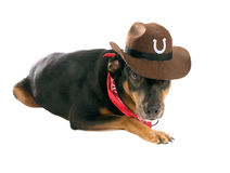 A dog  looking with one eye from under his cowboy  hat. Isolated Stock Image
