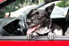 Dog Looking Through Open Car Window Stock Image