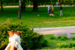 Dog looking on other dogs playing on lawn at park Royalty Free Stock Images