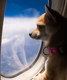 Dog looking out airplane window. A Chihuahua dog looking out airplane window. This was the dog's first airplane flight and she was very interested in everything Royalty Free Stock Photography