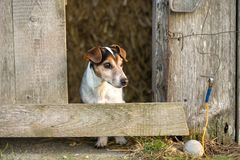 Dog is looking out of a barn. Jack Russell Terrie 12 years old royalty free stock photos