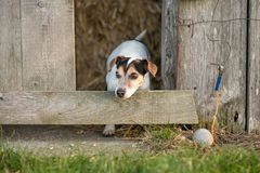 Dog is looking out of a barn. Jack Russell Terrie 12 years old stock photography