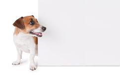 Dog is looking out from behind a poster. Jack Russell terrier with white empty poster. Copy paste space Royalty Free Stock Images