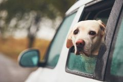 Dog looking out of a car. Dog labrador retriever looking out of a car window on a rainy day Royalty Free Stock Photography