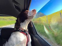 Dog looking out of car window. Dog looking out of moving car window Stock Photo