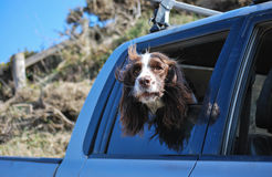Dog looking out of car window Stock Photos