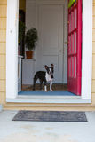 Dog looking out the front door royalty free stock photography