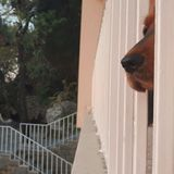 Dog looking out Royalty Free Stock Photo