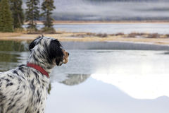 Dog Looking Out Over Lake Royalty Free Stock Image