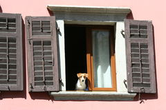 A dog looking out the window Stock Photo