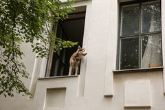 Dog looking out of window Stock Photo