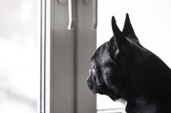 Dog looking out the window Stock Image