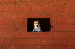 Dog looking out window of kennel. Jack Russell Terrier sitting in dog house Royalty Free Stock Images