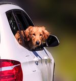 Dog looking out window of luxury SUV Stock Photo