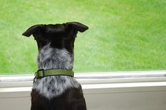 Dog Looking out the Window. Mixed Breed dog looks out the window at the green grass Royalty Free Stock Photos