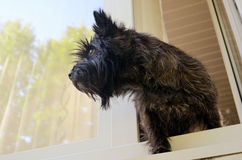 Dog looking out the window stock photo