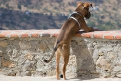 A Dog Looking Over the Brink Royalty Free Stock Images