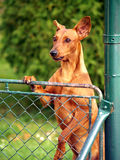 Dog looking over fence Royalty Free Stock Images