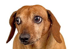 Dog Looking Over At Something. Brown short dog looking over at something and maybe looking a little concerned about it. Hmmm.... Isolated on a white background Stock Photography