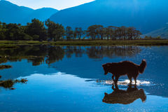 Dog looking at reflection, Loch Etive, Scotland Stock Images