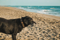 Dog looking at the sea on the beach Royalty Free Stock Photography