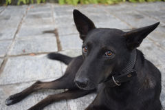 Dog. Looking sheepishly at the camera Royalty Free Stock Photography
