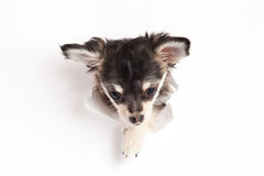 Dog is looking for something isolated on white background Royalty Free Stock Photography