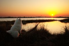 Dog looking on the sunrise. Dog looking to the sunrise on the lakeside Royalty Free Stock Photo