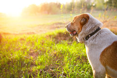 Dog looking at the sunset. Bright sunshine stock images