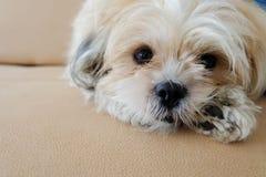 Dog looking. Dog is thinking looking at camera royalty free stock photo