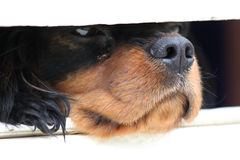 Dog looking though letterbox. Dog waiting for postman looking though letterbox stock photo