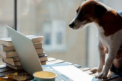 Dog looking in to laptop computer on a table. E view stock photo