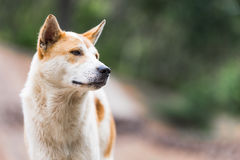 Dog looking to right side Royalty Free Stock Photos