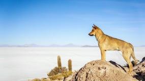 Dog looking to the Salar de Uyuni. Dog on the top of a rock looking to the Salar de Uyuni royalty free stock photography