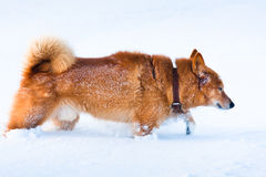 Dog is looking for a trail in the snow Stock Image